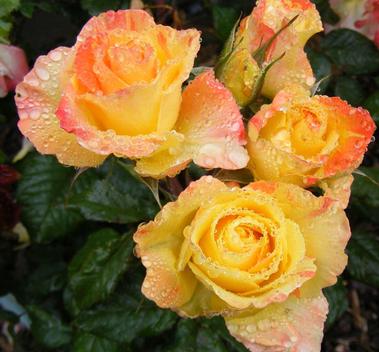 Chihuly floribunda roses