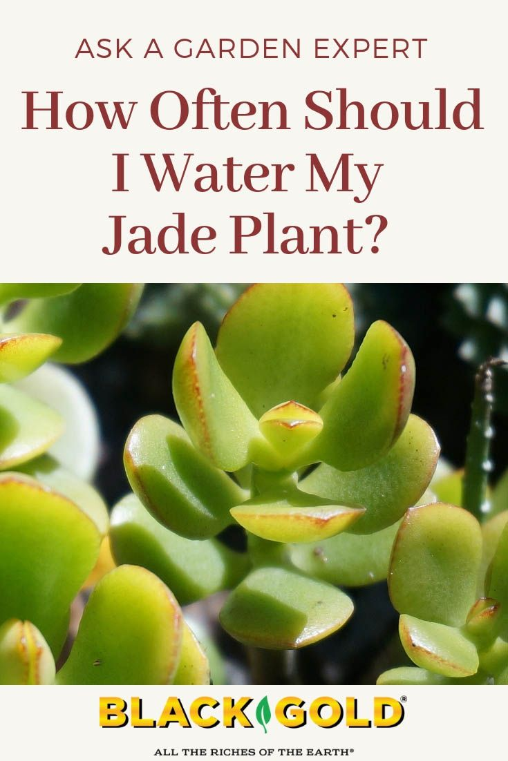 How to water jade plants ask a garden expert q a jade - How often to water vegetable garden ...