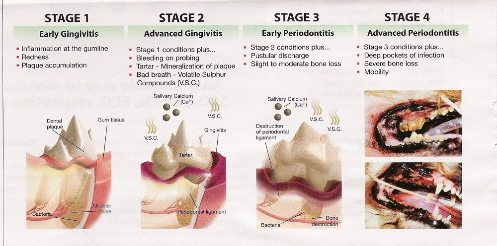 Stages of periodontal disease Dog dental disease