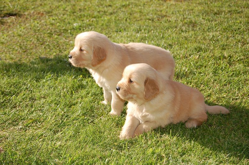 Golden retriever puppies dogs dogs for sale dogs puppies