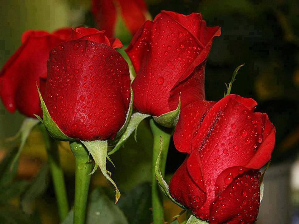 Conciencia Eco On Twitter Beautiful Red Roses Red Roses Beautiful Roses
