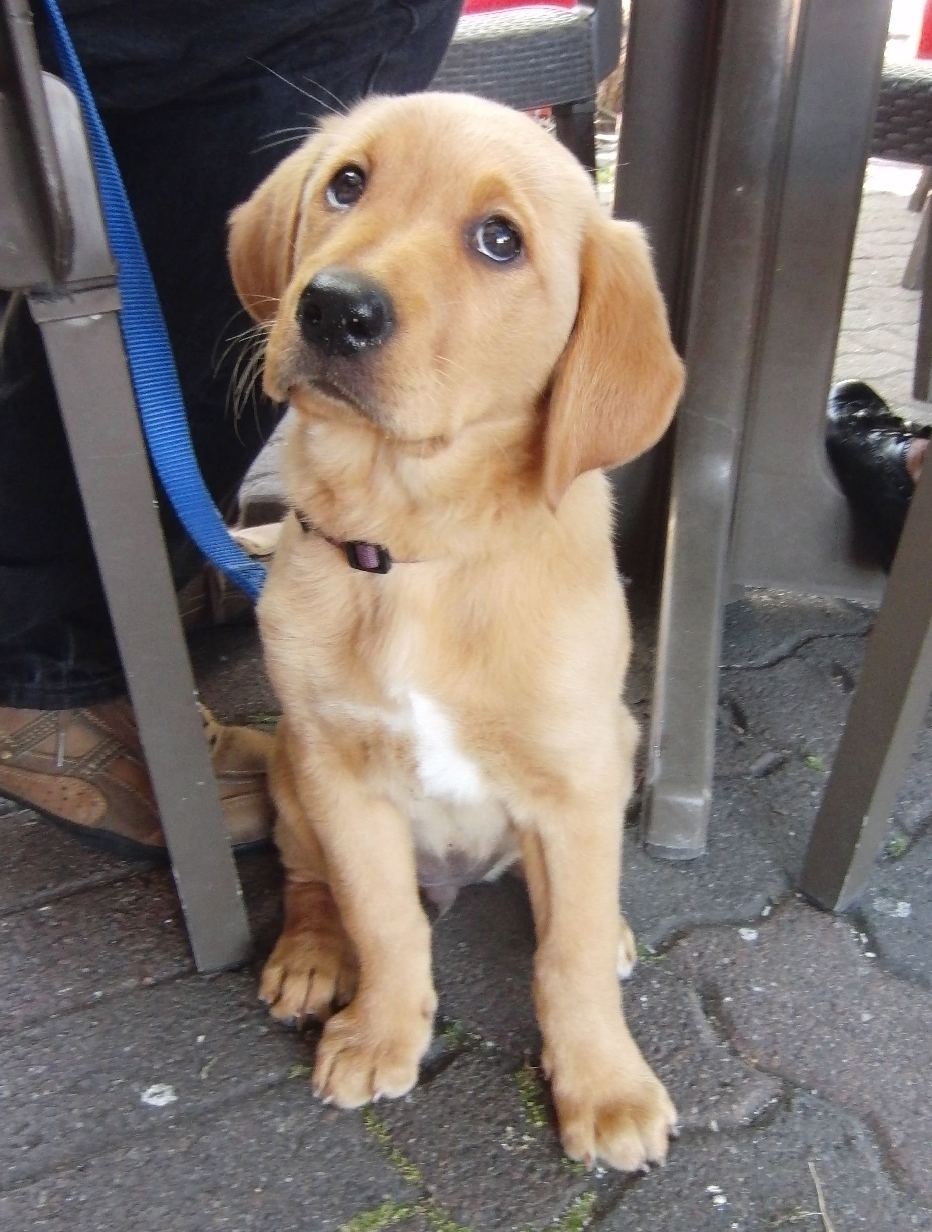 Shaved lab golden retriever mix