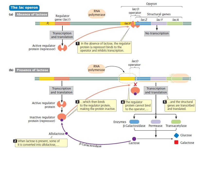 the lac operon consists of genes biology essay Jacob and monod proposed the hypothesis that dna consists of genes coding for cap binds to the promoter of the lac operon and documents similar to essay 26.