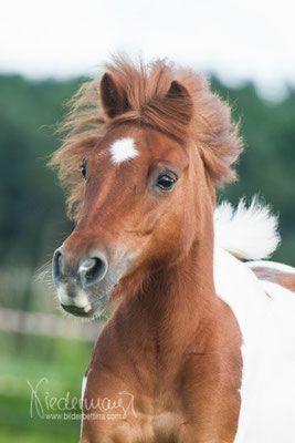 Shettlandmini Pony Pferdefotografie Hundefotografie Fotografie