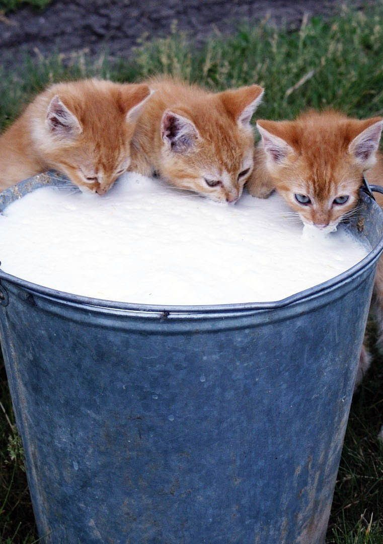 The Need To Wash Down All The Mice They Have Devoured Kittens