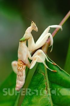 White Orchid Mantis Or Praying Mantis Malaysia Stock Photo 1566