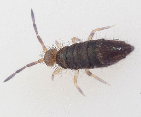This Is A Springtail They Are A Cousin To A Flea But They Don T