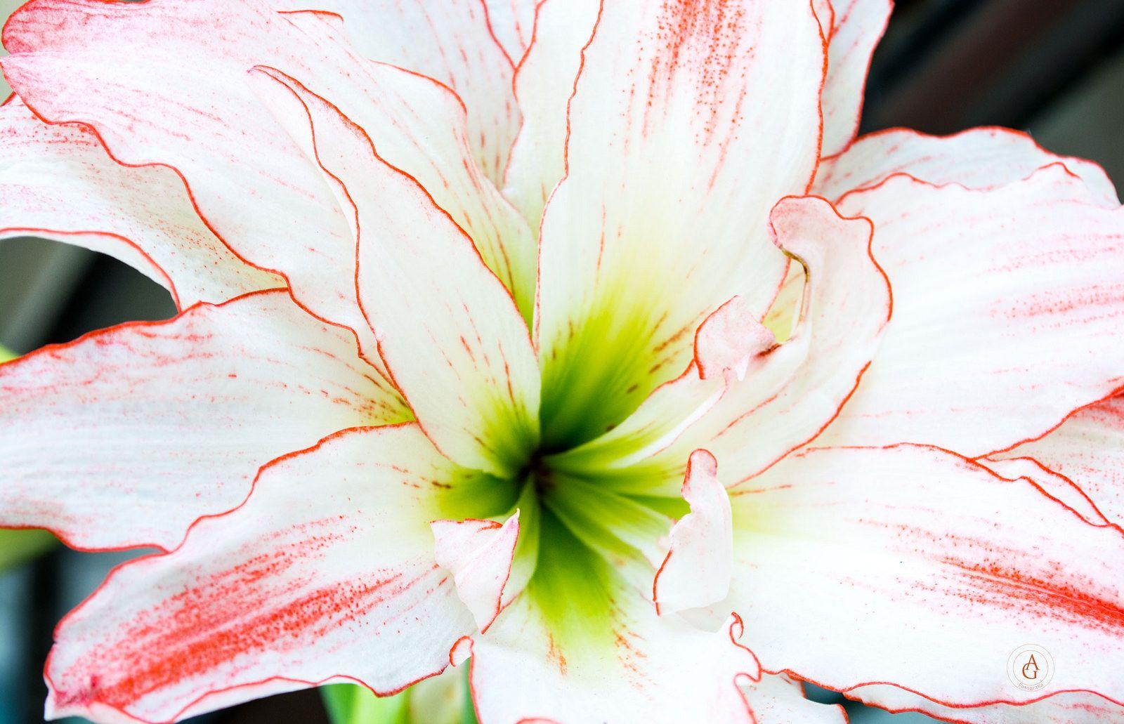 Flor Blanco y Rojo | Ventas, Rojo y Flor