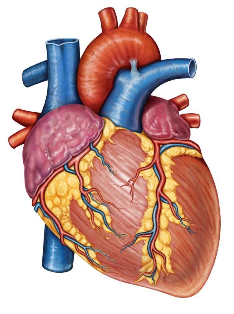 Corazón. Es un músculo estriado, hueco y pirimidal localizado en la ...