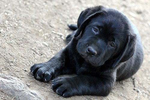 black lab puppy ♥