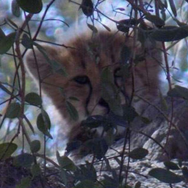 """Peek a boo…"" #Salome's cub peeking out from behind the termite mound. #hesc #endangeredspeciescentre #loves_southafrica #meetsouthafrica #nightjar #natgeo #natgeowild #planet_of_animals #splendid_animals #aviva_volunteers #marvelshot #wce #ig_africa #jaguars_paw #globewonderer #globe_travel #africanamazing #wu_africa #volunteersa #volunteer #wu_africa"