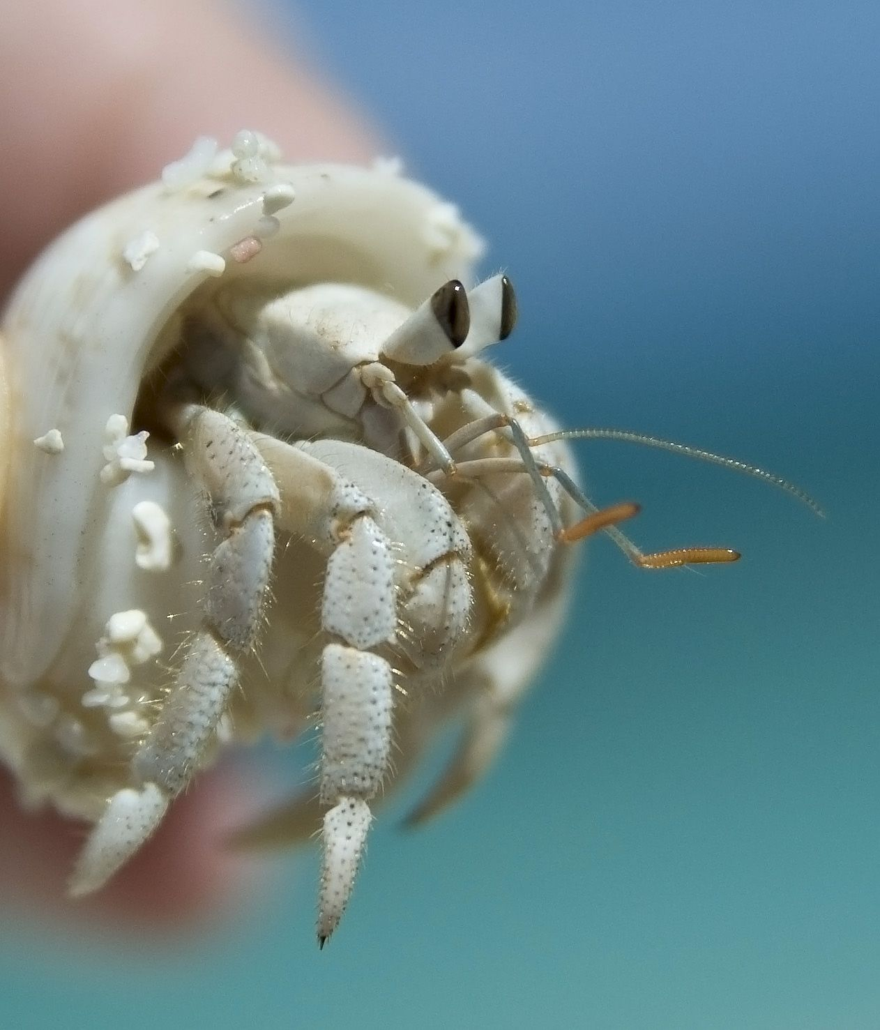 hermit crab eyes aw hermie cutie shell stunning sea