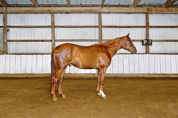 Friendly, Outgoing, 2017 Hanoverian Cross Gelding - Registered Solid Pinto