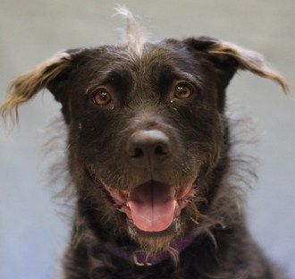 Adopt Nina Is Retriever Terrier Mix At The Naperville Area Humane
