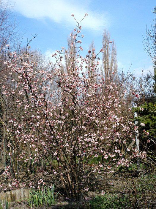 Viburnum Bodnantense Dawn Winterschneeball Winterschneeball Garten Pflanzen Pflanzen