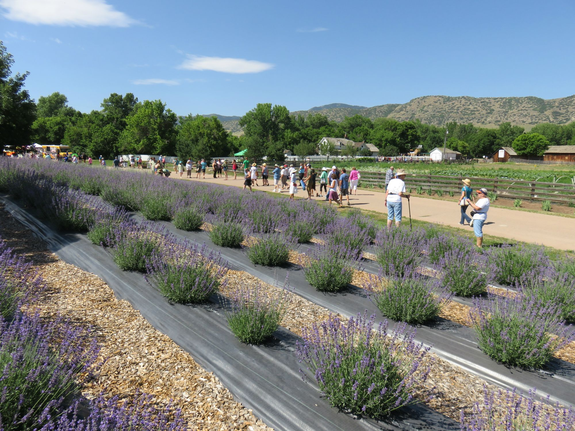 Rows of lavender growing Chatfield farm