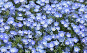 schattenpflanzen garten pinterest schattenpflanzen himmelblau und september. Black Bedroom Furniture Sets. Home Design Ideas