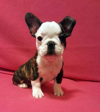 French Bulldog Puppy For Sale In Adrian Mi Adn 26636 On