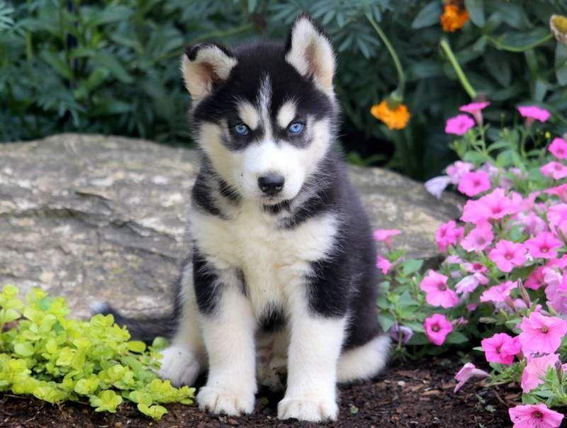 Jackson Siberian Husky Funny Siberian Husky Dog Husky
