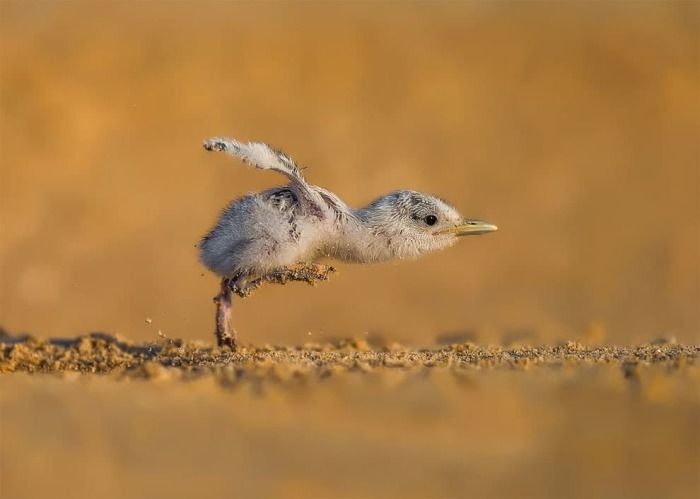Автор фотографии: Faisal Alnomas, Кувейт.   Смешные птицы ...