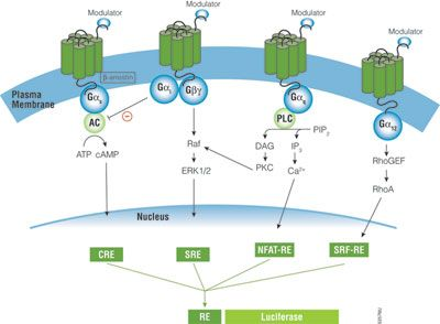 Luciferase Reporter Assay For Deciphering Gpcr Pathways Pathways Signal Transduction Cell Biology