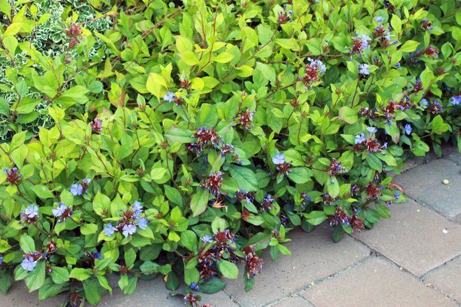 weed-smothering ground covers: plumbago (Ceratostigma ...
