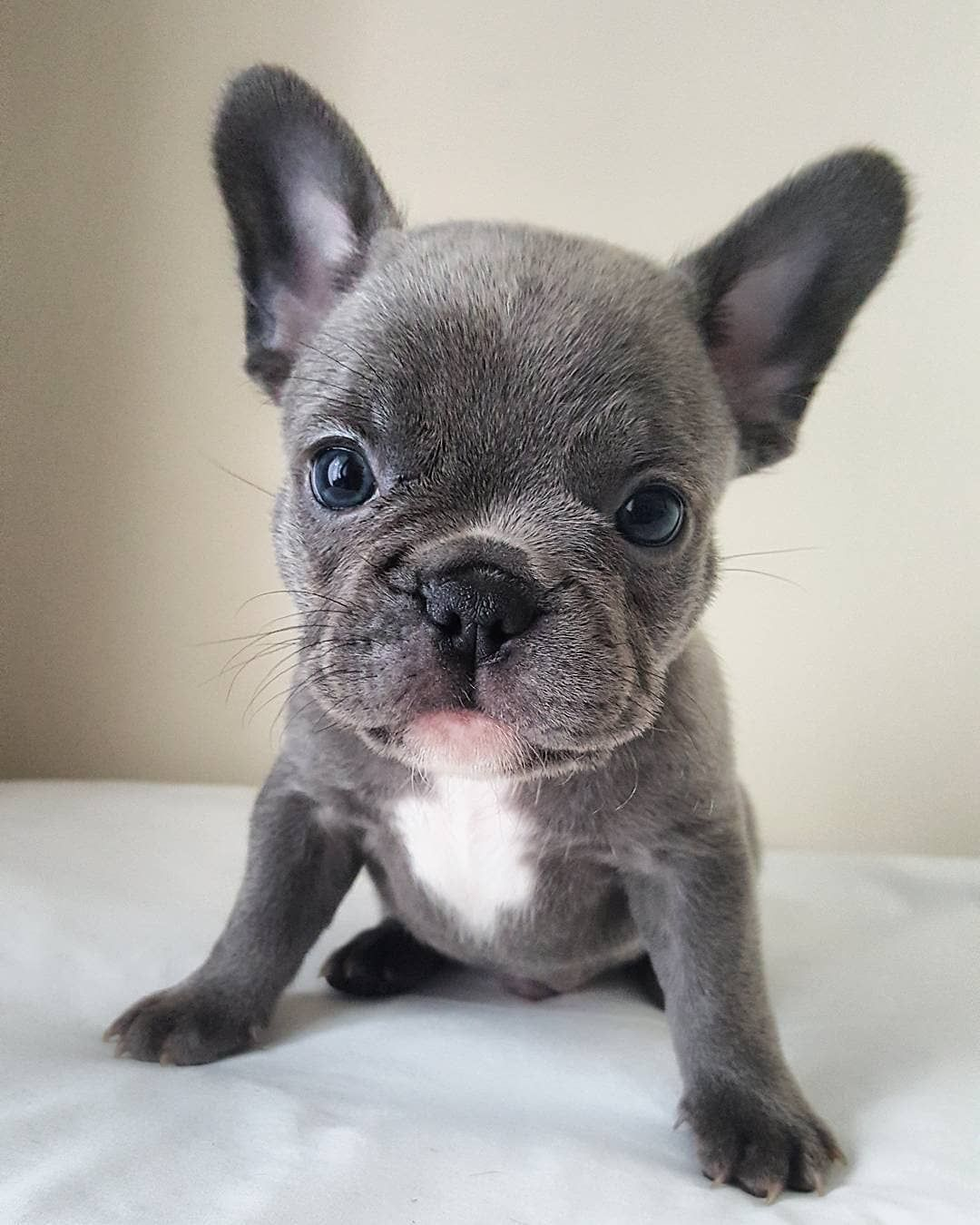 """� D A I L Y F R E N C H I E � on Instagram: """"� F R E D D I E � Feature of @liverloves_frenchbulldogs � . #frenchbulldog #frenchbulldogpuppies #frenchbulldogs #frenchbulldogsofinstagram…"""""""
