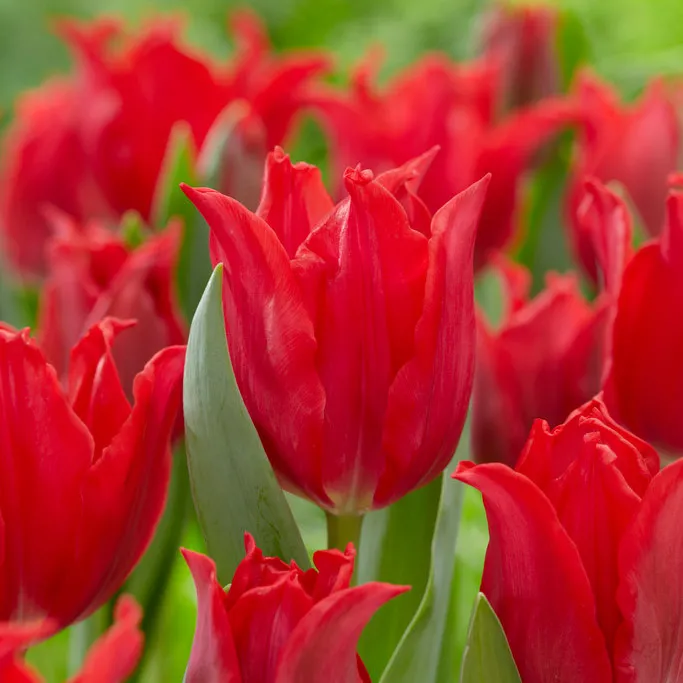 Pretty Woman Lily Flowered Tulip Bulb Flowers Lily Flower Wildflower Seeds
