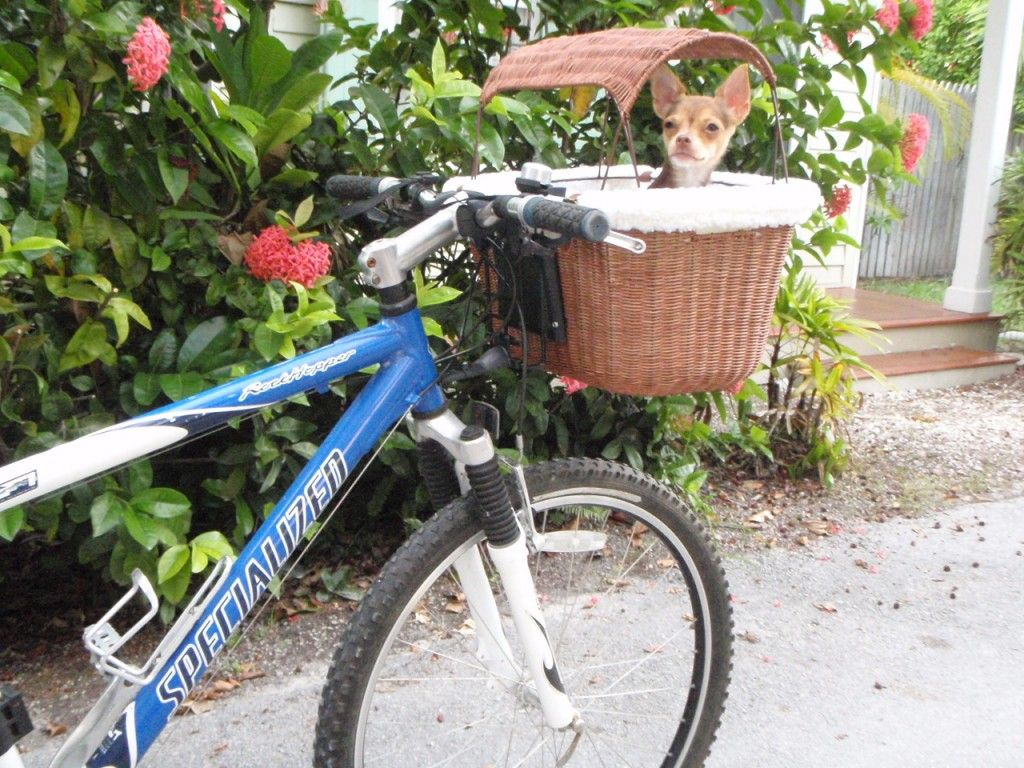 Bikes are the best way to travel on our tiny, crowded island of Key West. Faster, easier to park and much more economical, riding is my preferred mode of transportation.    Since my 4 lb Chihuahua, 'Boochi Bug' came into my life my poor...