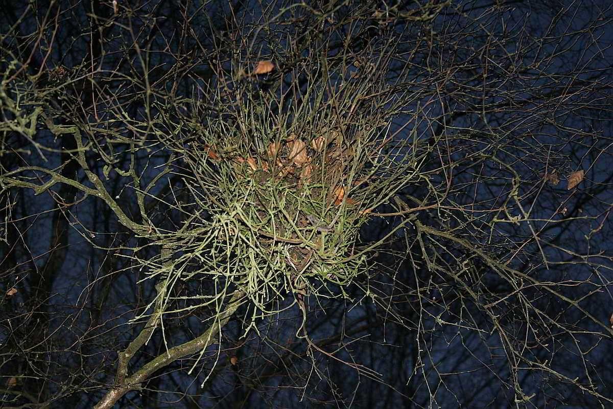Wie kommen die Hexenbesen auf die Bäume?