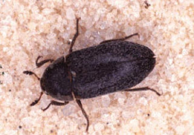 How of Get Rid of Carpet Beetles Everything You Need to