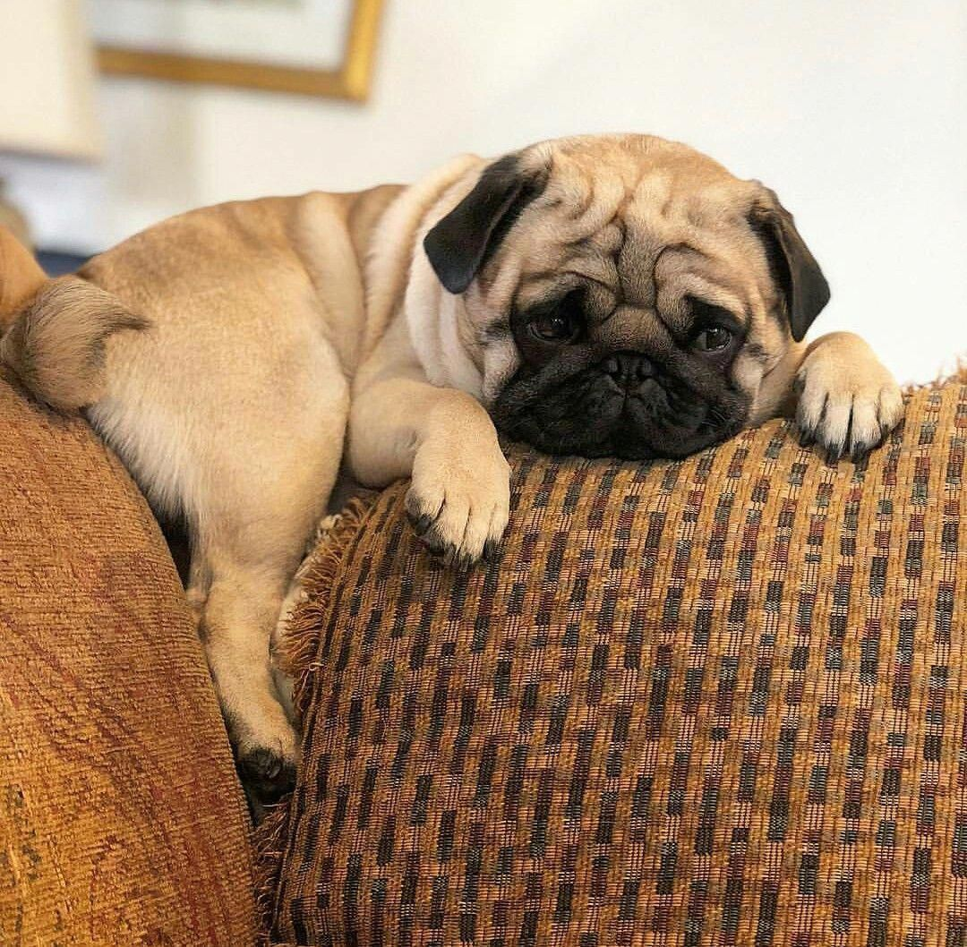 Excellent Pug Dogs Detail Is Readily Available On Our Site Have A