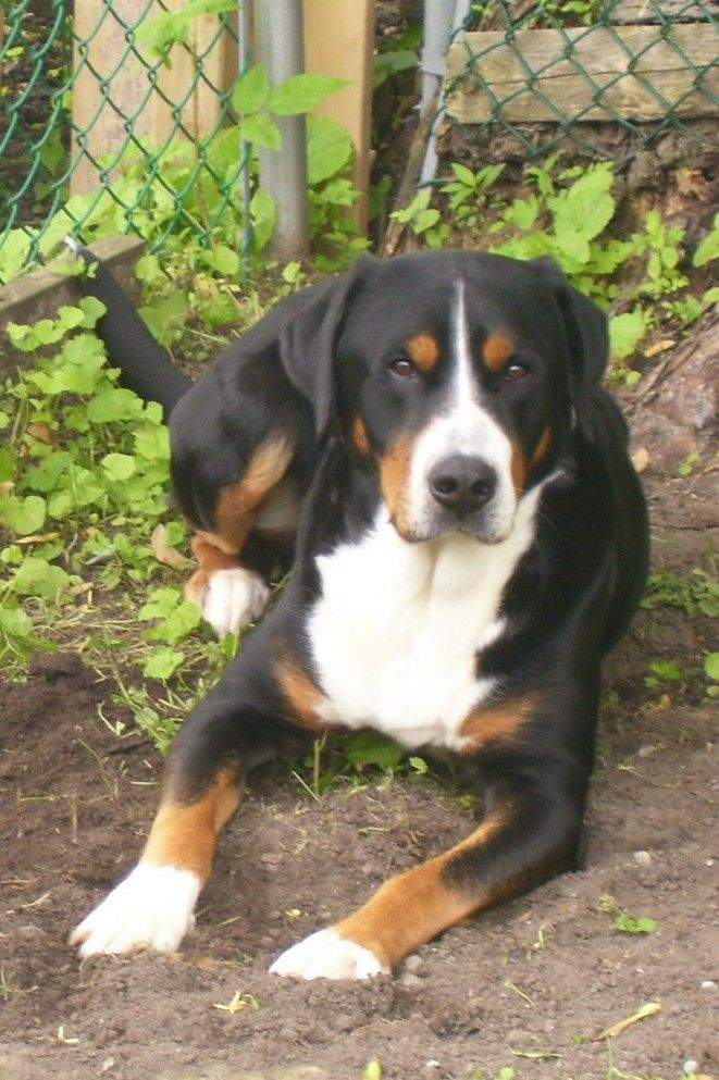 Jackson Greater Swiss Mountain Dog Entlebucher Mountain Dog Greater Swiss Mountain Dog Mountain Dogs