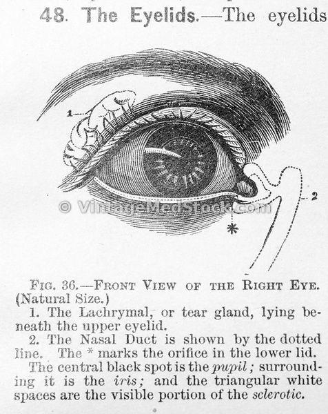 Medical illustration by Vintage Medical Arts on Our Senses