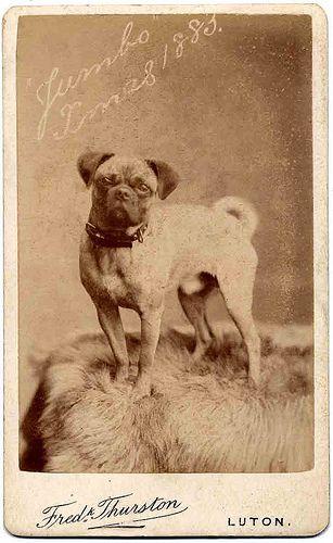 Handsome Pug Pugs Dog Photos Dogs