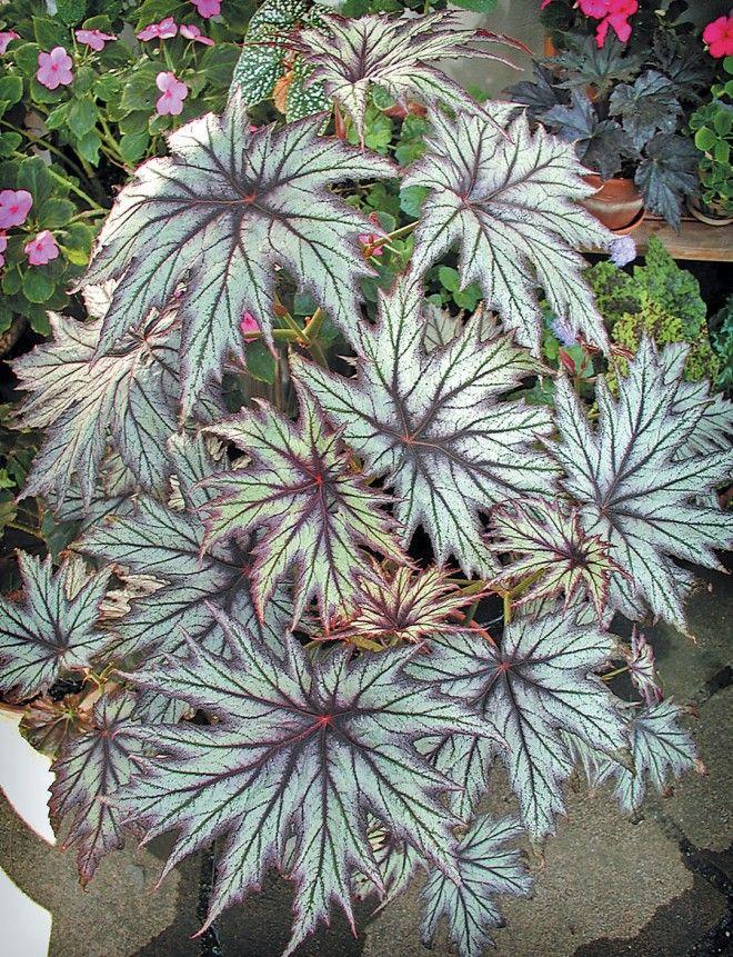 1 plant Begonia emeinsis