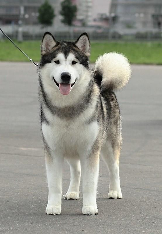 Alaskan Malamute Female Ch Treasure Of Maja Inditarod Dam