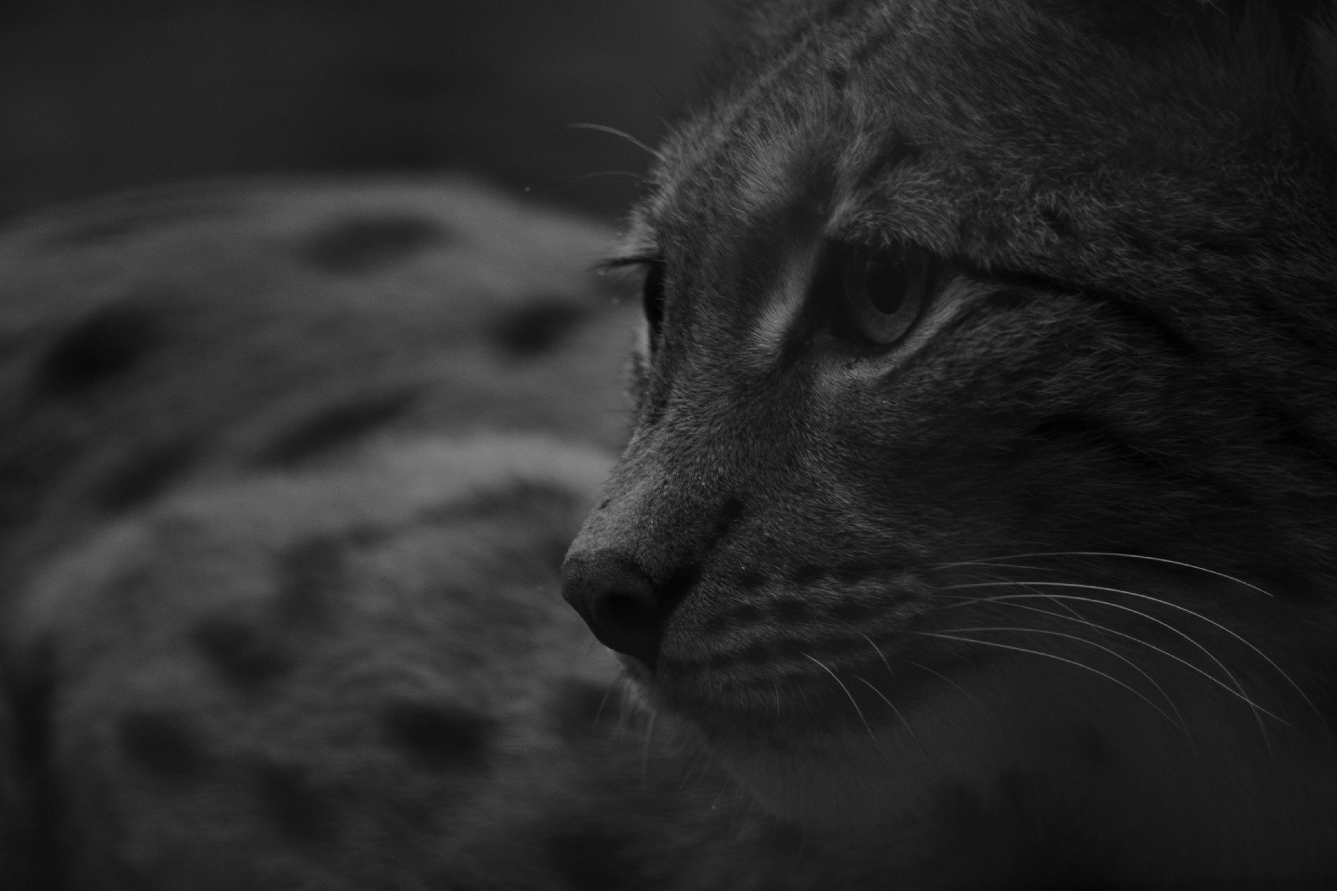 Carpathian Lynx