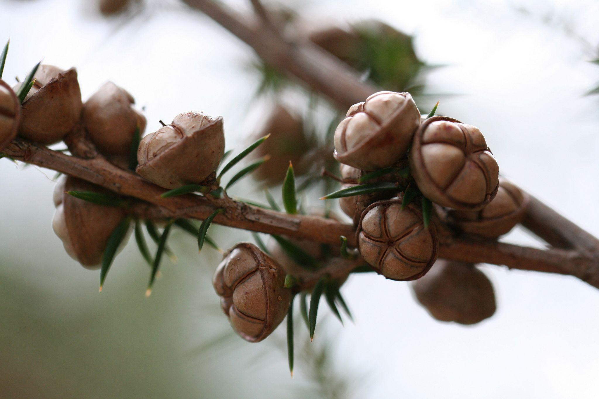20120401 4004 Tea Tree Seed Pods Tree Seeds Seed Pods Seeds