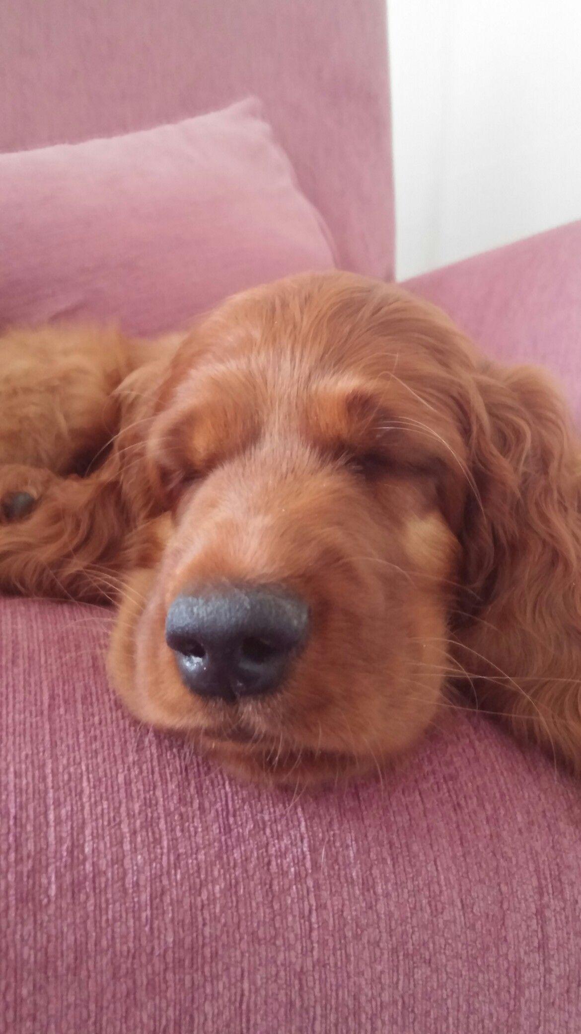 Irish setter puppy Luca 8 weeks