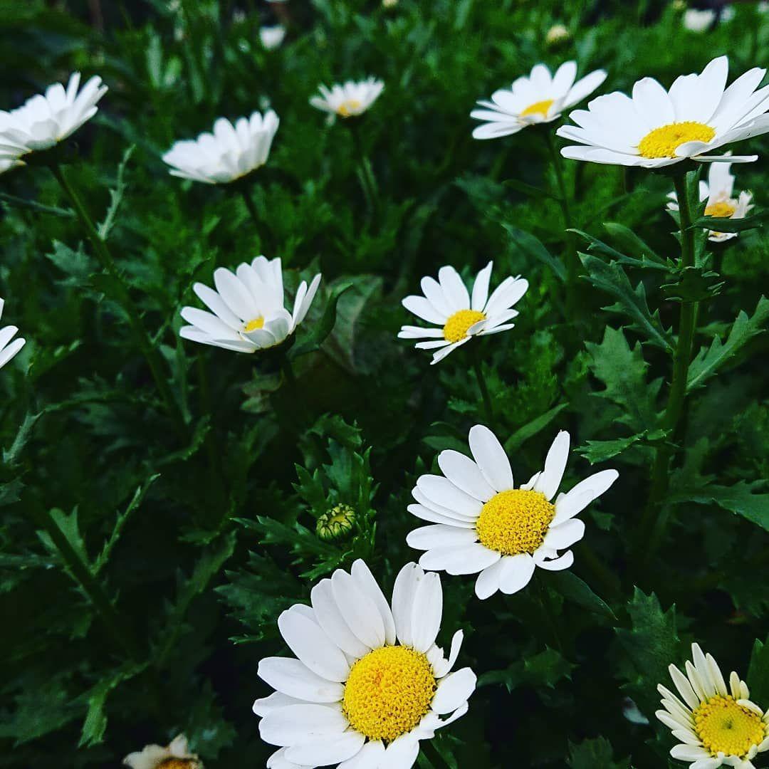 Flower garden white flowers ・iwamizawa ・hokkaido #花が好き #花のある暮らし #白い花 #岩見沢 #クピドフェア #はなまっぷ #シクラメン買ってきた #秋の庭 #雨上がり #誰かに見せたい風景 #hokkaidosgram #flowerstagram #flowergarden #寄せ植え #花が好きな人と繋がりたい #花撮り隊 #hokkaidotrip #hokkaidolikers #petalperfection#pansy #viola  #flowerphotography #花散歩 #beautiful #instagardenlovers #北海道 #gardenlovers #hokkaido2019 #花の写真 #nikonが好き