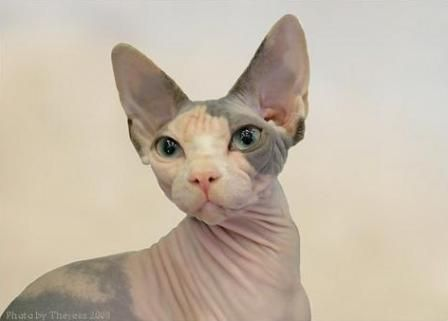 Sphynx Cat Pictures Russian Blue Cat Cat Pics Sphynx Cat