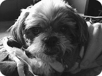 Urbana Oh Shih Tzu Mix Meet Cabela Montgomery A Dog For
