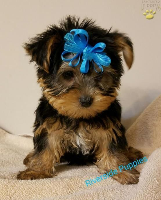 Austin Yorkshire Terrier Puppy for Sale in Belpre, OH