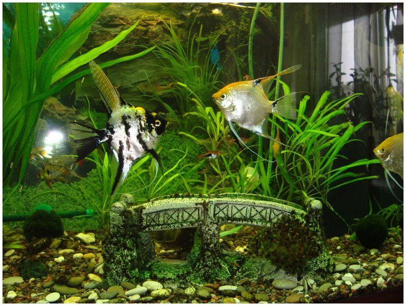 Tropical freshwater aquarium fish list aquarium fish for Aquarium fish list