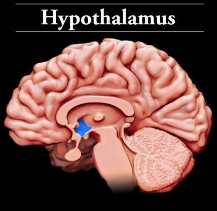 Hypothalamus: Located below the thalamus and above the brain stem ...