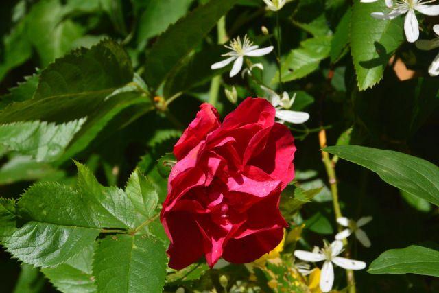 Flammentanz  ruusu