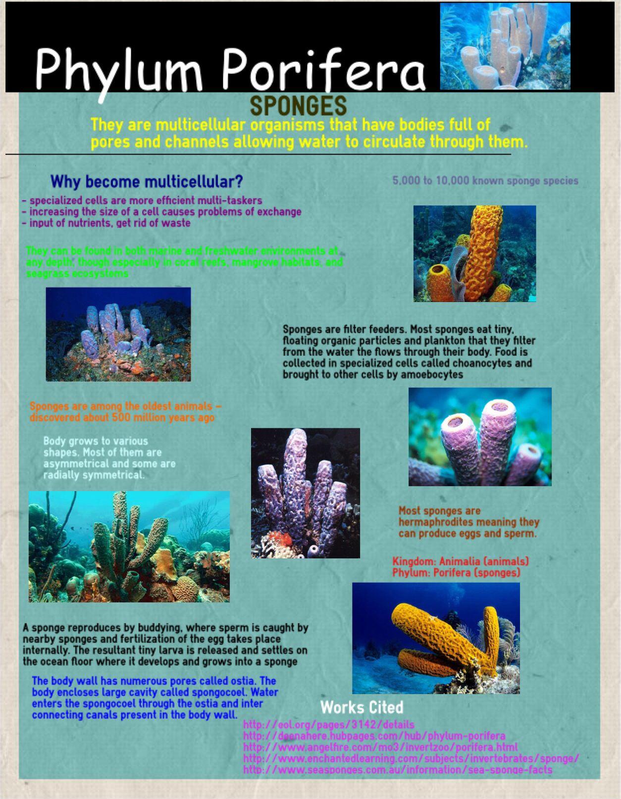 Phylum Porifera- Taylor Lipinski Block 6 | Science and biology ...