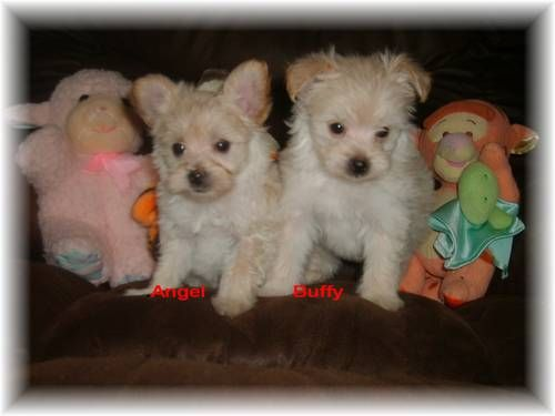 Dogs Puppies For Sale In Minneapolis St Paul Ebay Classifieds Kijiji Page 1 Yorkie Poodle Yorkie Poo Yorkie