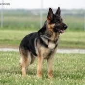 german shepherd dog - Google Search